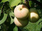 Сорта яблони в России  Сады Сибири