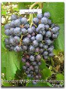 бисероплетение виноград - Оригами и.