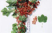 смородина Кремовая красная фото средний средние (от 1г до 3г), выращивание, посадка и уход, купить Кремовая саженцы и...